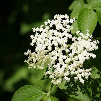 Fleur de sureau bio
